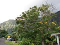 Starr-070515-7017-Spathodea campanulata-orange flower form-Kaneohe-Oahu (24795752221).jpg