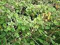 Starr-090430-6720-Roldana petasitis-flowers and leaves-Kula-Maui (24585588889).jpg