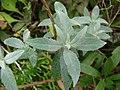 Starr-090430-7005-Buddleja davidii-leaves-Enchanting Floral Gardens of Kula-Maui (24586102239).jpg