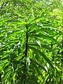 Starr-090702-2025-Costus speciosus-leaves-Puaa Kaa Park Hana Hwy-Maui (24672836320).jpg