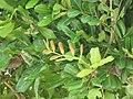 Starr-090806-3969-Cupaniopsis anacardioides-leaves-Wailuku-Maui (24341096504).jpg