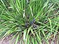 Starr-110629-6508-Dianella sandwicensis-fruiting habit-Ulupalakua-Maui (25004420791).jpg