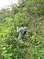 Starr-110924-9252-Clidemia hirta-habit with Greg-Makamakaole-Maui (25114217175).jpg