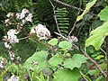 Starr-120312-3822-Roldana petasitis-seeds and leaves-Kula Botanical Garden-Maui (24507135104).jpg