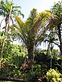 Starr-120522-5942-Raphia farinifera-habit-Iao Tropical Gardens of Maui-Maui (25116581256).jpg