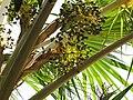 Starr-120522-6260-Pritchardia remota-fruit-Iao Tropical Gardens of Maui-Maui (25117057436).jpg