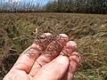 Starr-120702-7918-Heteropogon contortus-seeds-USDA Plant Materials Center-Molokai (25186279375).jpg