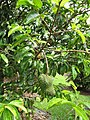 Starr-130312-2309-Annona muricata-fruiting habit-Pali o Waipio Huelo-Maui (25180796316).jpg