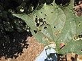 Starr-130617-4841-Datura stramonium-leaves with 3 lined beetle feeding damage-Kealia Pond NWR-Maui (24581365724).jpg