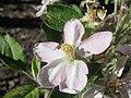 Starr-140117-3961-Malus pumila-Dorsett Golden flower with syrphid fly-Hawea Pl Olinda-Maui (24608319814).jpg