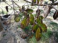 Starr-150325-0470-Annona muricata-leaves and fruit-Sand Island-Midway Atoll (25147522372).jpg