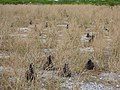 Starr-150402-0861-Brassica juncea-control with Laysan Albatrosses-East Eastern Island-Midway Atoll (24643560544).jpg