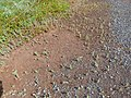 Starr-170131-0787-Bassia hyssopifolia-along road by pond-Kanaha Pond-Maui (32557118233).jpg