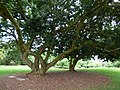 Starr-180406-0779-Litchi chinensis-habit-DOFAW Arboretum Hilo-Hawaii (40474676895).jpg