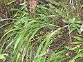Starr-180909-0787-Nephrolepis cordifolia-habit-Lower Kula Pipeline Waikamoi-Maui (45765794802).jpg