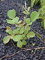 Starr 011205-0074 Rubus ellipticus.jpg