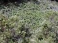 Starr 020226-0040 Lonicera japonica.jpg