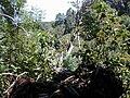 Starr 020518-0014 Cinchona pubescens.jpg
