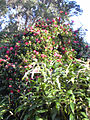 Starr 040220-0328 Camellia japonica.jpg