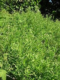 Starr 050222-4160 Heliotropium procumbens