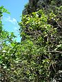 Starr 050419-0421 Psidium guajava.jpg