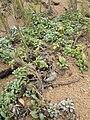 Starr 050519-6822 Melanthera integrifolia.jpg