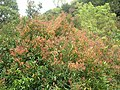 Starr 060422-9436 Syzygium jambos.jpg