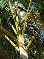 Starr 061206-1981 Chrysalidocarpus lutescens.jpg