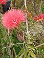 Starr 070308-5451 Calliandra haematocephala.jpg