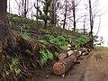 Starr 070908-9217 Eucalyptus robusta.jpg