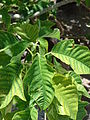 Starr 080604-6135 Euphorbia pulcherrima.jpg