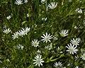 Stellaria longifolia (3816685972).jpg