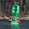 Steller sea lions laze around on a buoy.jpg