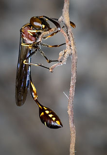 Stenogastrinae, P.mellyi author David Baracchi.jpg