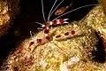 Stenopus hispidus (46585256025).jpg