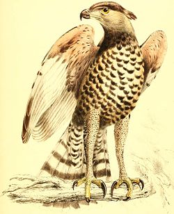 Stephanoaetus coronatus.jpg