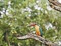 Stork billed kingfisher-kannur-kattampally - 15.jpg