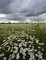 Storm over Daisies (3680071500).jpg