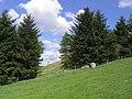 Strip plantation - geograph.org.uk - 440806.jpg