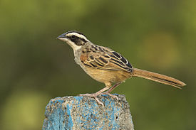 Stripe-headed Sparrow - Carara - Costa Rica MG 9299 (26631192751).jpg