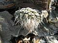 Strombocactus disciformis (5780129599).jpg