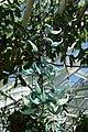 Strongylodon macrobotrys 2019 05 18 Kaisaniemi 0537.jpg