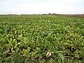 Sugar Beet field - geograph.org.uk - 1580532.jpg