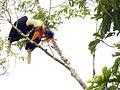 Sulawesi Knobbed Hornbill dm DSCN0939 v1.JPG