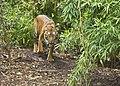 Sumatran Tiger (4334181024).jpg
