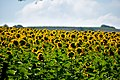 Sunflower field, Andalusia 2017-05-30.jpg