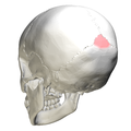 Superior angle of the occipital bone07.png