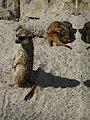 Suricata-suricatta-9.jpg