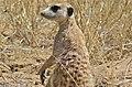 Suricate (Suricata suricata) (6531765967).jpg