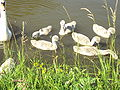 Swan and Cygnets, Shropshire Union Canal, Cheshire - DSC06306.JPG